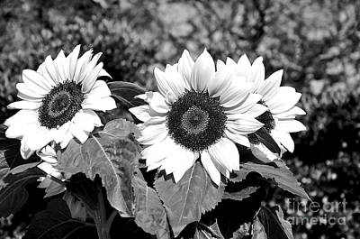 Sunflowers In Black And White Art Print by Kaye Menner