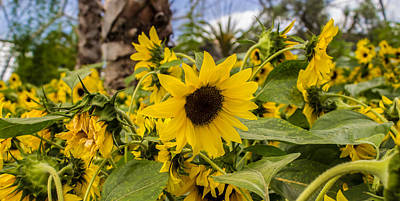 Garden Photograph - Sunflowers In Bloom by Martin Newman