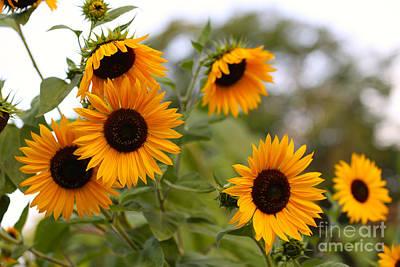 Photograph - Serene Sunflowers by Carol Groenen