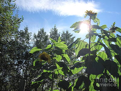 Photograph - Sunflowers In Sunshine by Elizabeth Stedman