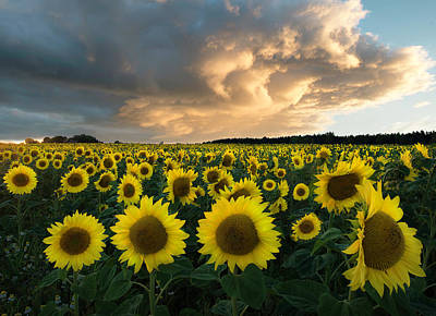 Sunflower Photograph - Sunflowers In Sweden. by Christian Lindsten