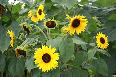 Photograph - Sunflowers In The Garden by Lucinda VanVleck