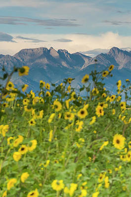 Sunflowers In The San Luis Valley Art Print