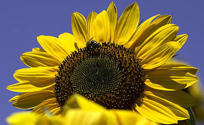 Photograph - Sunflowers by John Holloway