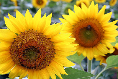Photograph - Sunflowers by Kathryn McBride