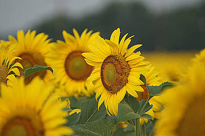 Art Print featuring the photograph Sunflowers by Kathy Churchman