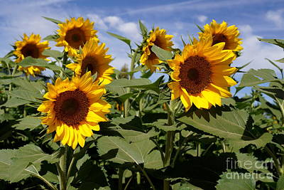 Farmstand Photograph - Sunflowers by Kerri Mortenson