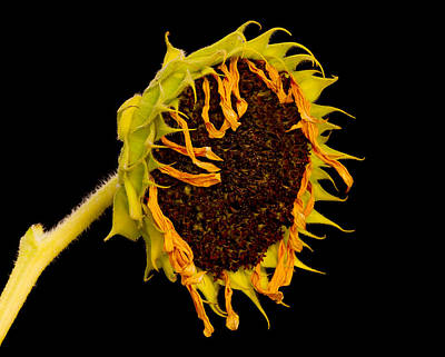 Photograph - Sunflowers' Last Days by Robert Woodward