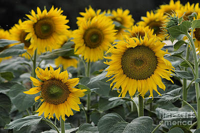 Photograph - Sunflowers by Leo Symon