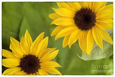 Sunflowers Art Print by Natalie Kinnear