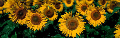 Sunflowers Nd Usa Print by Panoramic Images