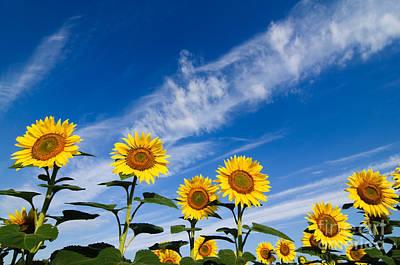 Sunflower Photograph - Sunflowers by Oscar Gutierrez