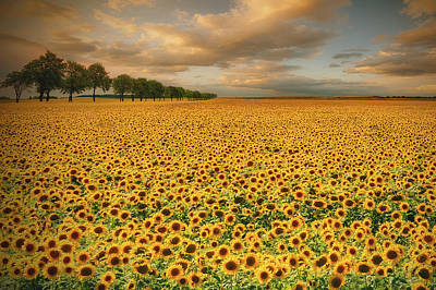 Floral Landscape Photograph - Sunflowers by Piotr Krol (bax)