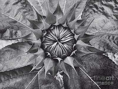 Sunflower's Shades Of Grey Art Print