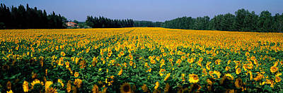 Sunflowers St Remy De Provence Provence Art Print by Panoramic Images