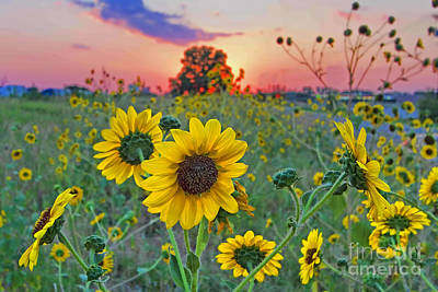 Sunflowers Sunset Art Print by Gary Holmes