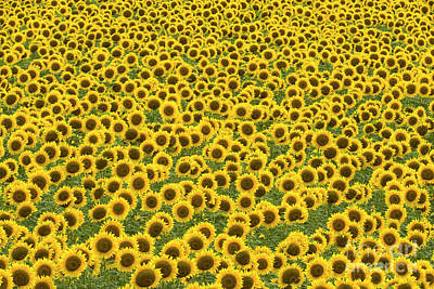Photograph - Sunflowers Kansas by Yva Momatiuk John Eastcott