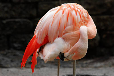 Photograph - Sunken Gardens Flamingo by Daniel Woodrum