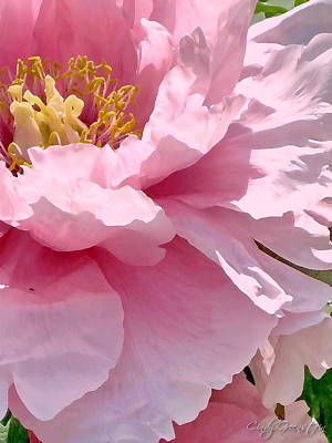 Photograph - Sunkissed Peonies 1 by Cindy Greenstein