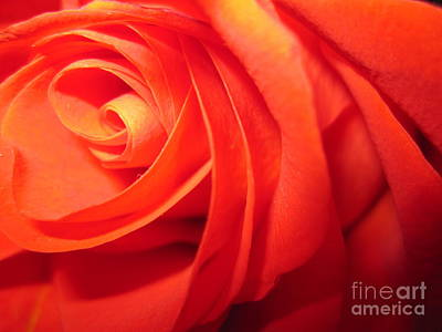 Photograph - Sunkissed Orange Rose 7 by Tara  Shalton
