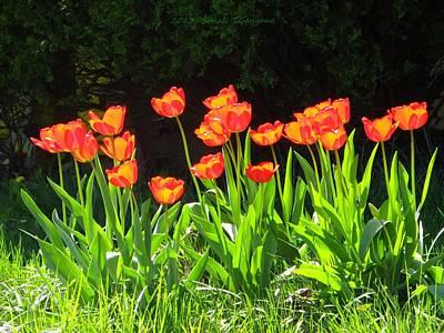 Tulip Mania Photograph - Sunkissed Tulip Garden by Sonali Gangane