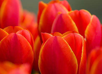 Photograph - Sunkissed Tulips by Jordan Blackstone