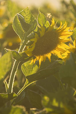 Sunlight And Sunflower Art Print