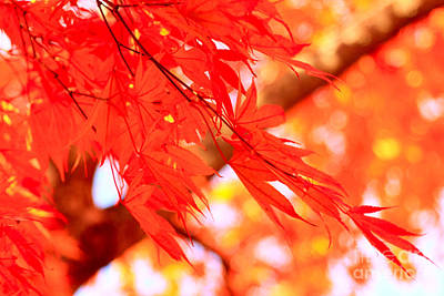 Photograph - Sunlight Behind Vivid Autumn Leaves by Beverly Claire Kaiya
