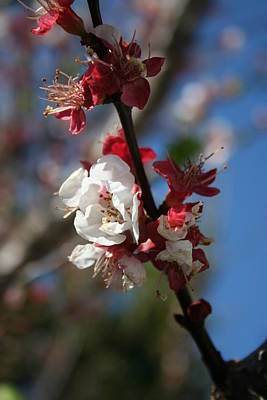 Photograph - Sunlight Embracing Apricot Blossom by Tracey Harrington-Simpson