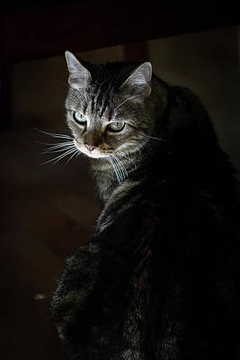 Tabby Cat Photograph - Sunlight Hits Only The Face Of A Male by Al Petteway & Amy White