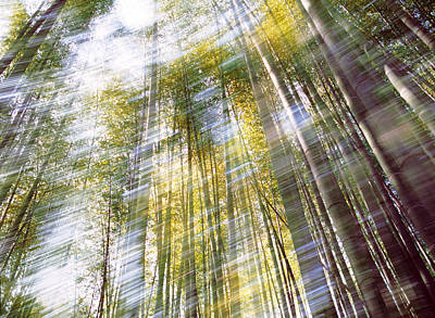 Sunlight In Bamboo Forest Art Print by Panoramic Images