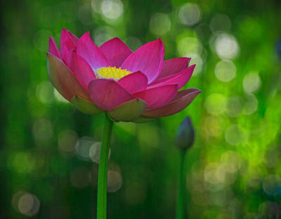 Photograph - Sunlight On Lotus Flower by Beth Sargent
