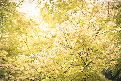 Photograph - Sunlight On Maple Leaves by Priya Ghose
