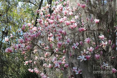 Photograph - Sunlight On Saucer Magnolias by Carol Groenen