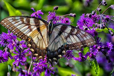 Photograph - Sunlight On Swallowtail by Beth Akerman
