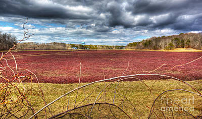 Photograph - Sunlight On The Cranberry Bog by Michelle Constantine