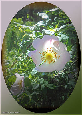 Sunlight On The Wild Pink Rose Art Print by Patricia Keller