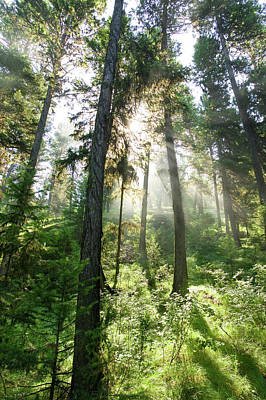 Sunlight Shining Through Forest Canopy Art Print by Eric Zamora