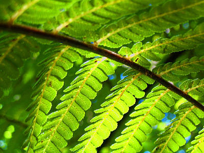 Photograph - Sunlight Through Fern Frond by Amber Nissen