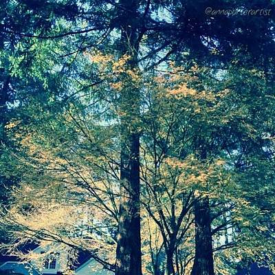 Sunny Photograph - Sunlight Through Vine Maples by Anna Porter