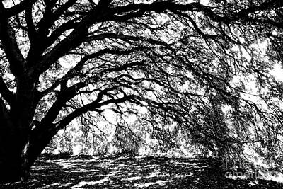 Railroad - Sunlight through Spanish Oak Tree - Black and White by Carol Groenen