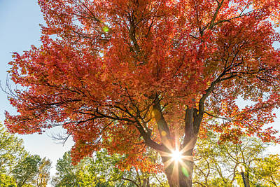 Photograph - Sunlight Through The Maple Tree by Pierre Leclerc Photography
