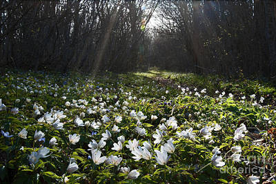 Photograph - Sunlit Anemones by Kennerth and Birgitta Kullman