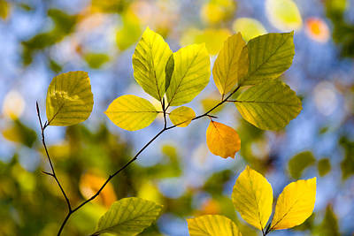 Sunlit Autumn Leaves Art Print by Natalie Kinnear