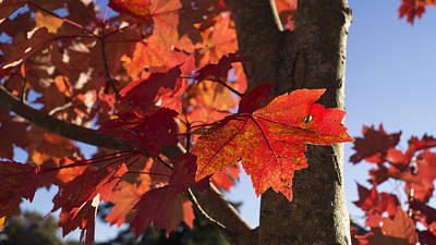 Photograph - Sunlit Autumn Red Maple by MM Anderson