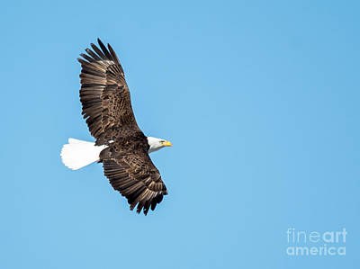 Photograph - Sunlit Bald Eagle by Cheryl Baxter