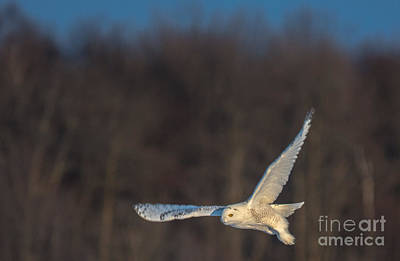Photograph - Sunlit Flyer by Cheryl Baxter