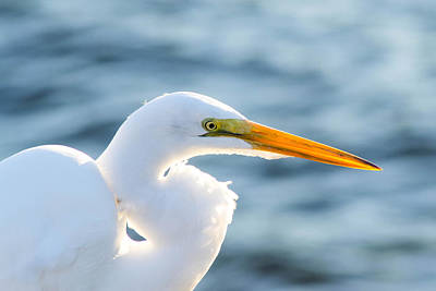 Photograph - Sunlit Great Egret by Shannon Harrington
