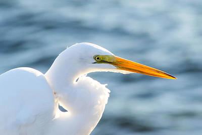 Photograph - Sunlit Great Egret by Shannon Harrington