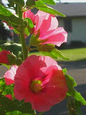 Photograph - Sunlit Hollyhock by Christine Nichols